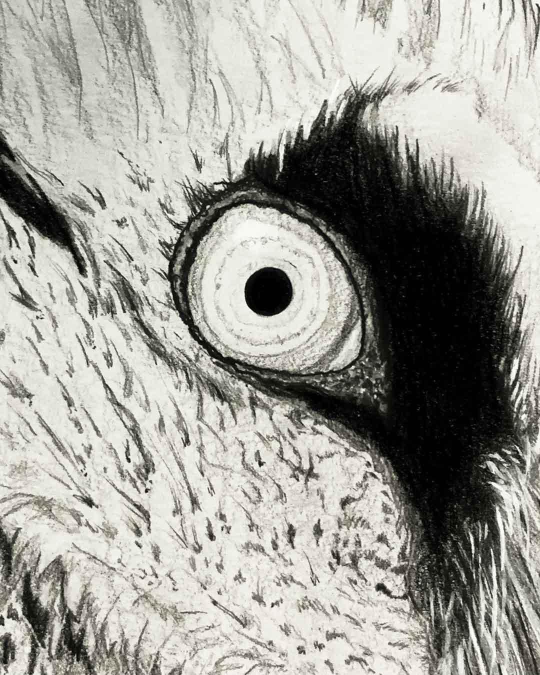 Lammergeier Zwei Eye Detail